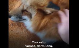 Rusia: Familia adopta zorra como mascota